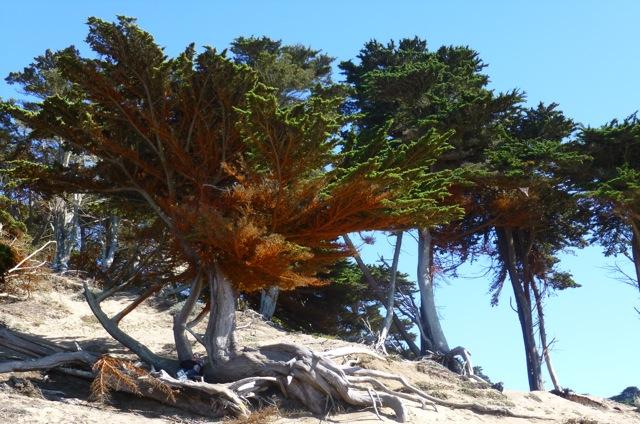 35 Beach tree