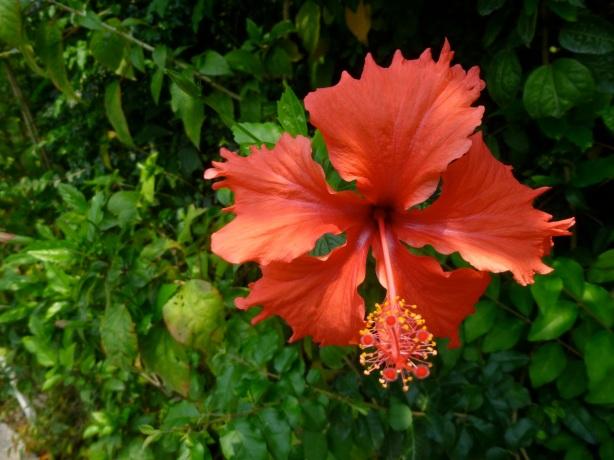 Kowloon Park hibiscus